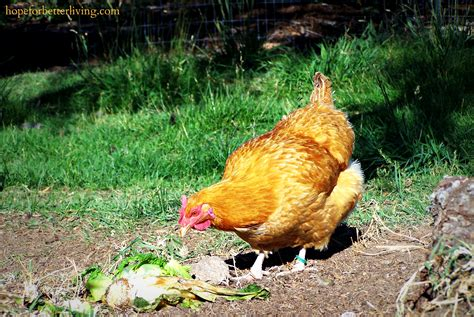 backyard chicken magazine 100 backyard chicken magazine five reasons why