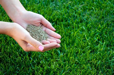 Grass Seed by Types Of Cold Hardy Grass Seed Tips On Planting Grass