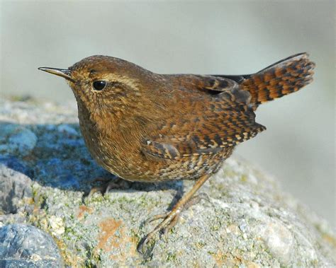 pacific wren audubon field guide