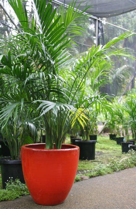 Lipstik Vire cascade palm chamaedorea atrovirens