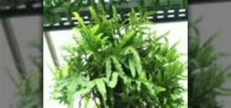 grow ferns indoors gardening wonderhowto