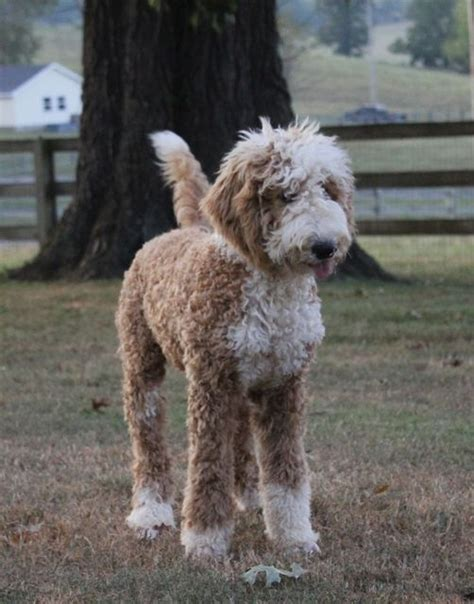 goldendoodle puppy weight gain best 25 goldendoodle haircuts ideas on