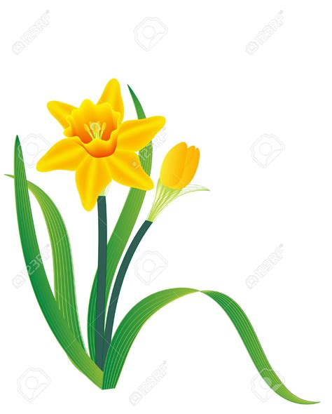 clipart vectors daffodil clipart vector pencil and in color daffodil