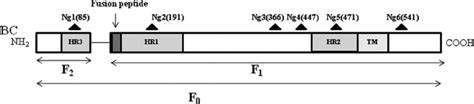 f protein ndv linear diagram of the ndv f protein potential n