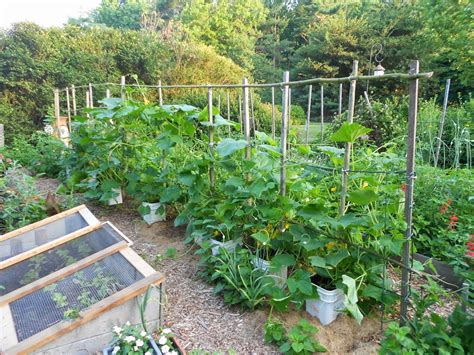 squash trellis from seed to scrumptious squash trellis in early july