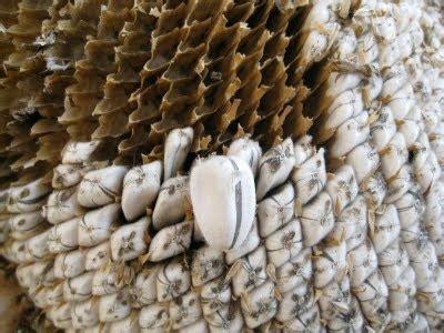 Tshirt Amazing Sumatera sunflower seeds trypophobia seeds