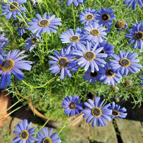 with blue australian seed brachyscome iberidifolia blue