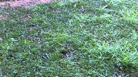 couch grass control how to kill winter grass how to get rid of winter grass