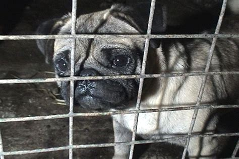 pug puppy farm beremboke puppy farm shocking say activists the courier