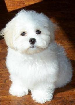 shishon puppie haircut preference 9 best teddy bear dog images on pinterest teddy bear