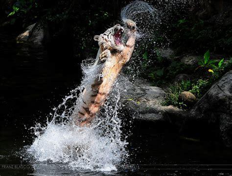 imagenes impresionantes e increibles impresionantes e incre 237 bles imagenes de tigres im 225 genes
