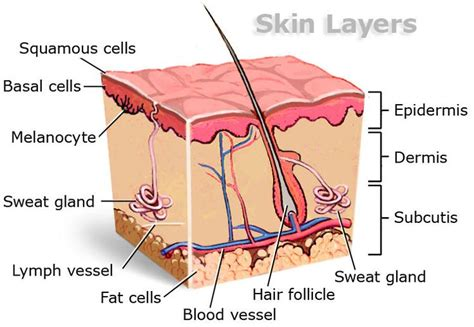 diagram of a skin skin layers diagram skin