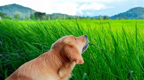 why do puppies eat why do dogs eat grass rover
