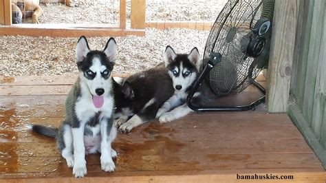 raising a husky puppy getting ready for husky puppies siberian husky puppies for sale