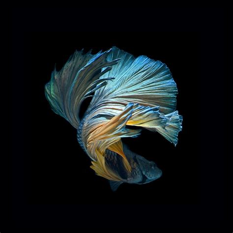 wallpaper iphone 6s hd fish iphone 6s betta fish wallpaper wallpapersafari