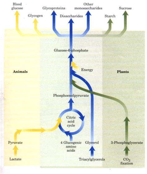 2 carbohydrates in plants gluconeogenesis anabolic related keywords