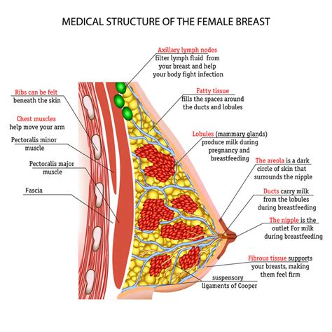 diagram of the breast breast tissue anatomy physiology 101 jackie bell