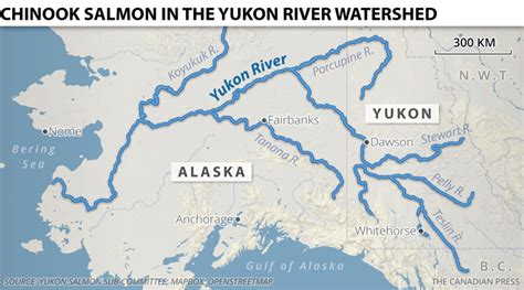 yukon river map new salmon run planes now fly in fish as yukon chinook decline cbc news