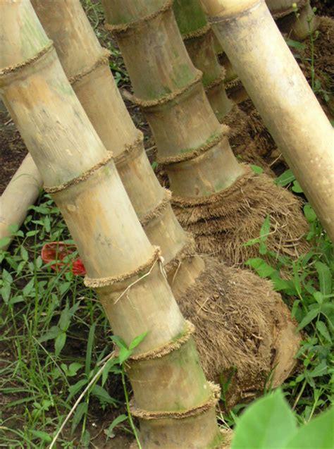 roter bambus kaufen 446 bambus petung dekorativ www bambushandel conbam de