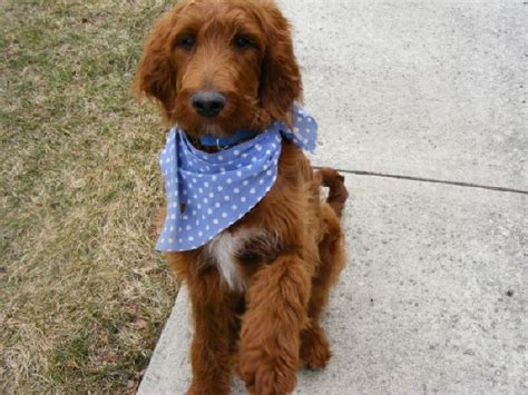irish setter doodle puppies for sale 16 best irish doodles images on pinterest doodle dog