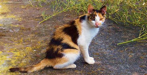 calico color calico cat colors
