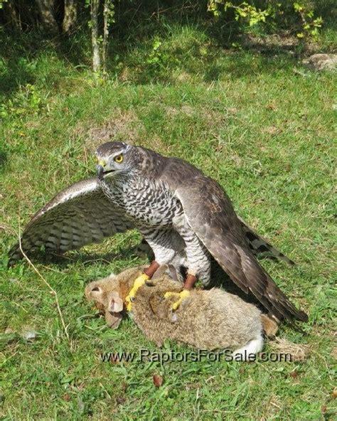 uk raptors for sale