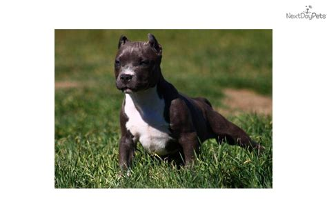 bull terrier puppies price meet destiny a american pit bull terrier puppy for sale for 1 800 sold pocket