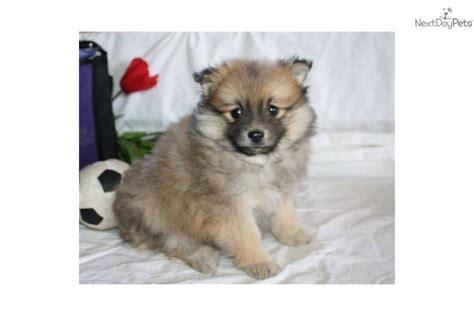 purebred pomeranian cost pomeranian puppy for sale near lancaster pennsylvania
