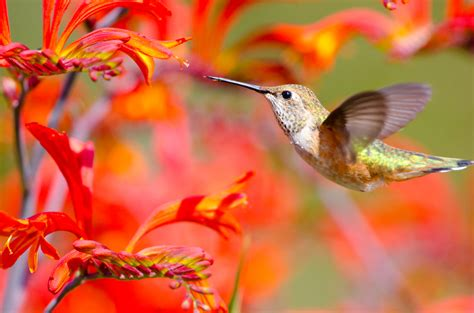 great plants to attract hummingbirds tomlinson bomberger
