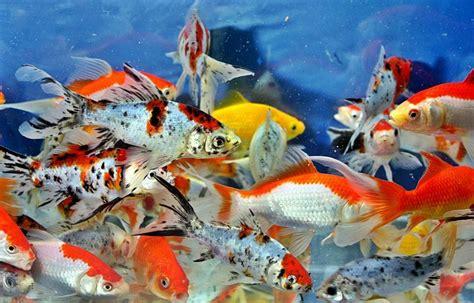 cara membuat umpan ikan mas di balong 17 cara resep umpan mancing ikan mas teruh di indonesia