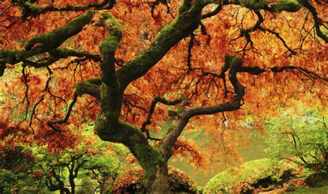 american maple tree uk maple trees that will give your garden an annual autumn fireworks show garden style