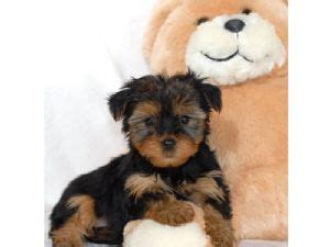 yorkie puppies for sale sydney terrier puppies for sale sydney dogs for sale puppies for sale sydney
