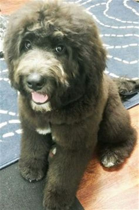 newfoundland poodle puppies 1000 ideas about newfoundland puppies on puppies and big dogs