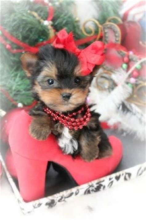 baby yorkies for sale in florida best 25 teacup yorkie ideas on yorkie teacup puppies mini yorkie and
