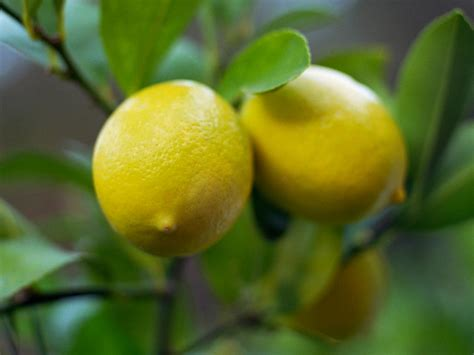 meyer lemon how to revive a fussy meyer lemon tree hgtv