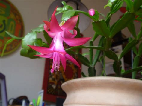 schlumbergera russelliana world  succulents