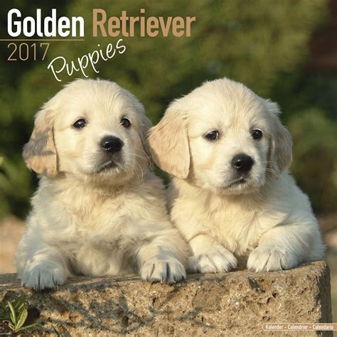 lancaster puppies golden retrievers golden retriever puppies 0 00 golden retriever puppies contact us breeds picture