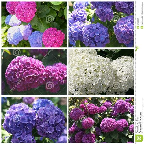 blooming colors collage of blooming hortensias in the summer stock photo