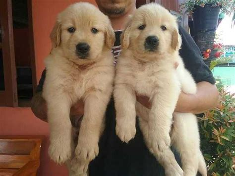 golden retriever puppies for sale singapore beautiful golden retriever puppies for sale adoption in