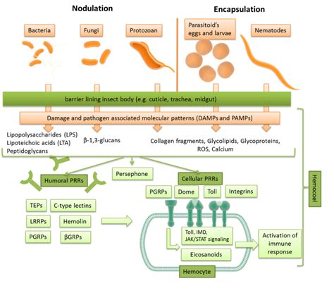 pattern recognition receptors in cancer progression and metastasis recognition of foreign targets by insects pattern