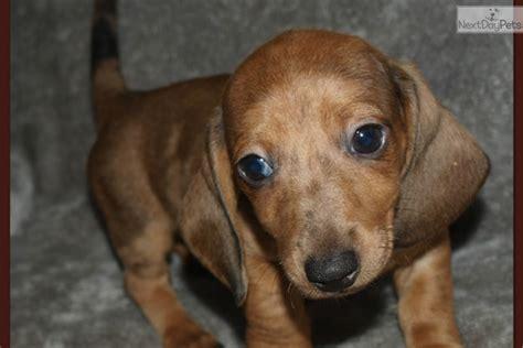 dapple dachshund puppies for sale in houston dachshund mini puppy for sale near houston aa13c060 2321