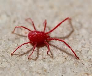 natureplus id red spider mite balaustium murorum