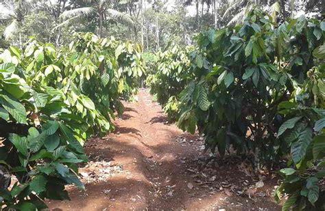 Bibit Tanaman Kakao 14 tahap dan panduan lengkap budidaya cara menanam kakao