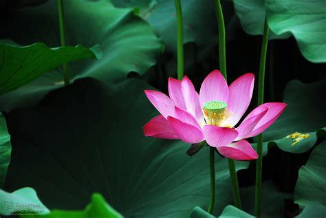 awordaday lotus eater