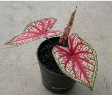 Penetralisir Udara jenis tanaman hias di dalam ruang yang bermanfaat