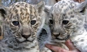 Pictures Of White Jaguars A Flurry Of White Jaguar Babies Zooborns