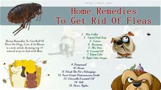 home remedies to get rid of fleas in the house 15 home remedies to get rid of fleas on dogs cats in house