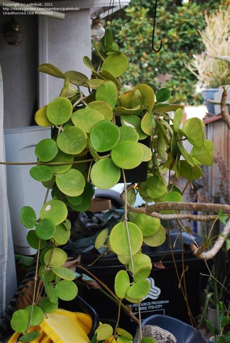 plantfiles pictures hoya species wax plant porcelain