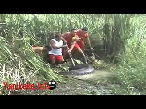 atrapan la anaconda mas grande del mundo en la amazona youtube