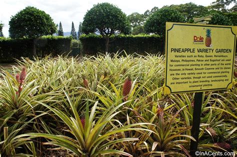 patio dole touring the dole plantation via the pineapple express